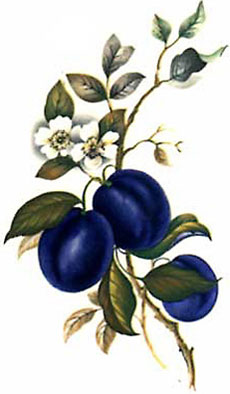 Plums and Blossoms