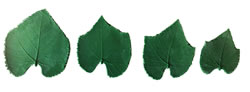 Grape Tame Leaf Pattern Set 4/3.5/3 inch