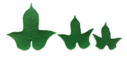 Japanese Morning Glory Leaf Pattern Set 6/4/3.5 inch