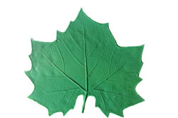 Sycamore Leaf Pattern - 8 inch