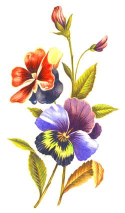 Pansies Floral